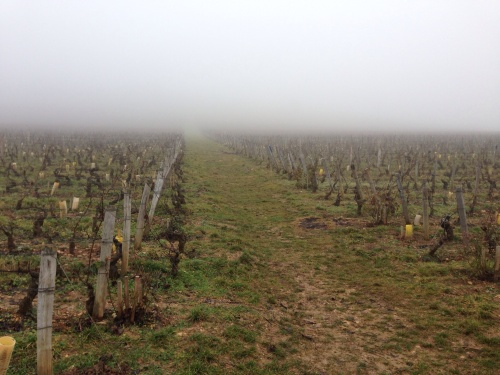Clos de Tart vines looking westward.
